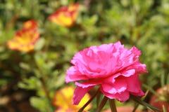 De mooie grandiflora bloem van Portulaca, die in de ochtend bloeit stock foto