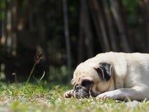 De mooie grappige witte leuke vette pug hondportretten sluiten omhoog stock afbeelding