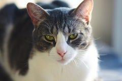 De mooie grijze kat met geelgroene ogen ligt stock afbeelding