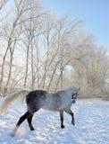 De mooie grijze Spaanse hengst geniet van het sneeuwlandbouwbedrijf Stock Foto