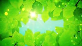 De mooie groene boombladeren openbaart het licht van de zon stock footage