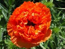 De mooie grote bloem van de badstof oranje papaver stock foto's