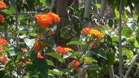 De mooie grote vlinder zit op bloem en vliegt dan van één bloem aan een andere stock footage