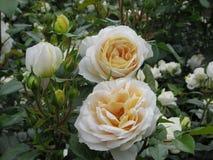 De mooie Heldere Tuin 2019 van Perzikrose flowers blossom in park royalty-vrije stock afbeeldingen
