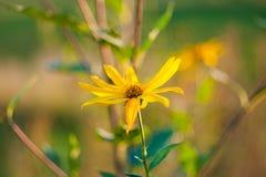 De mooie heldere zonnebloemen met zaden op houten lijst sluiten omhoog stock foto's