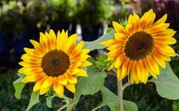 De mooie heldere zonnebloemen sluiten omhoog Stock Afbeeldingen