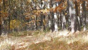 De mooie de herfst gele bomen in een bos de Herfstgebladerte valt aan de grond stock footage