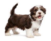 De mooie het glimlachen chocholate havanese puppyhond bevindt zich Stock Foto