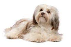 De mooie het liggen hond van chocoladeHavanese royalty-vrije stock afbeelding
