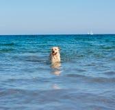 De mooie hond die van Labrador pret op het strand hebben stock afbeelding