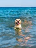 De mooie hond die van Labrador pret op het strand hebben stock afbeeldingen