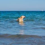 De mooie hond die van Labrador pret op het strand hebben stock foto