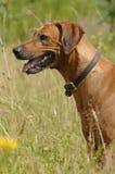 De mooie hond van Rhodesian Ridgeback Stock Afbeelding