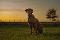 De mooie hond van Rhodesian Ridheback zit in zonsondergang en kijkt vooruit richtingszon royalty-vrije stock foto's