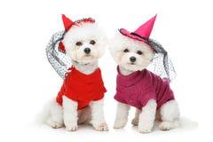 De mooie honden van bichonfrisee Stock Afbeelding