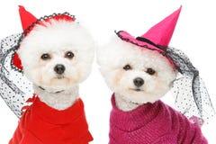 De mooie honden van bichonfrisee Stock Foto's