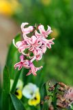 De mooie Hyacint van de open plek Stock Foto