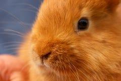 De mooie jonge close-up van het roodharigekonijn op handen stock afbeelding