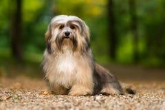 De mooie jonge havanese hond zit op een grint bosweg Stock Afbeeldingen