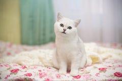 De mooie jonge Schotse chinchilla van het kattenras rechtstreeks royalty-vrije stock afbeelding