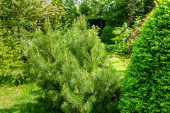 De mooie jongelui snakt spruiten op Pinus van de Bergpijnboom mugo Pumilio Klein en pluizig stock foto's