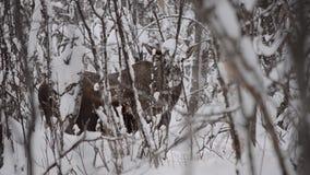 De mooie kalme Amerikaanse eland in het sneeuw de winter bos voeden van het lage hangen vertakt zich stock footage
