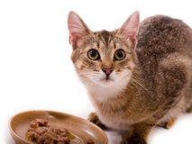 De mooie kat eet katachtige maaltijd Stock Afbeelding