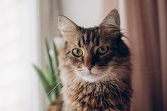 De mooie kat kijkt portret de wasbeer van Maine met verbazende groene ogen, Royalty-vrije Stock Foto