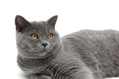 De mooie kat met gele ogen sluit omhoog op een witte achtergrond Royalty-vrije Stock Afbeelding