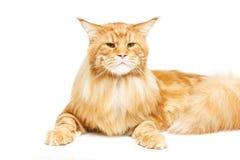 De mooie kat van de Wasbeer van Maine Royalty-vrije Stock Foto's