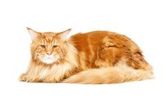 De mooie kat van de Wasbeer van Maine Royalty-vrije Stock Afbeeldingen