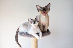 De mooie katten die van Devon rex op de krassende post zitten Royalty-vrije Stock Afbeelding