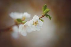 De mooie kersenboom die, verzacht kleine witte bloemen op t bloeien Royalty-vrije Stock Foto's