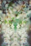 De mooie kersenboom die, verzacht kleine witte bloemen op takje over onduidelijk beeldachtergrond, schoonheid van lentetijd bloei Royalty-vrije Stock Foto's