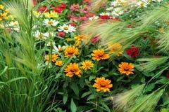 De mooie kleurrijke bloemen en de tarwe van Zinnia in tuin royalty-vrije stock foto