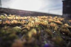 De mooie, kleurrijke, droge commune van mospolytrichum groeit op een heuvel, in de stralen van de de lentezon, op een vage achter royalty-vrije stock fotografie