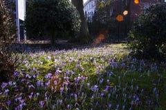 De mooie kleurrijke magische bloeiende eerste lente bloeit purpere krokus op wild aardgebied Zonsondergangzonlicht in bos Horizon royalty-vrije stock foto