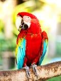 De mooie kleurrijke papegaai van de Ara Royalty-vrije Stock Foto's