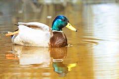 De mooie kleurrijke wilde eend zwemt Stock Fotografie