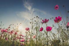 De mooie kosmosbloem in volledige bloei met zonlicht Royalty-vrije Stock Fotografie