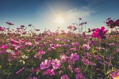 De mooie kosmosbloem in volledige bloei met zonlicht Stock Afbeelding