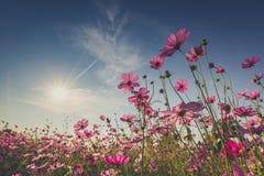 De mooie kosmosbloem in volledige bloei met zonlicht Royalty-vrije Stock Foto