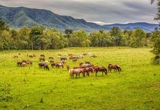 De mooie kudde van paarden weidt vóór smokeybergen in Tennessee Stock Afbeelding