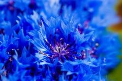 De mooie lente bloeit Blauwe Centaurea-cyanus op achtergrond Bl Royalty-vrije Stock Afbeeldingen