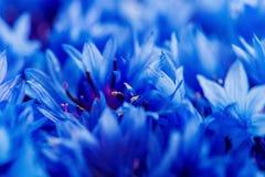 De mooie lente bloeit Blauwe Centaurea-cyanus op achtergrond Bl Royalty-vrije Stock Fotografie