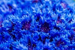 De mooie lente bloeit Blauwe Centaurea-cyanus op achtergrond Bl Royalty-vrije Stock Foto