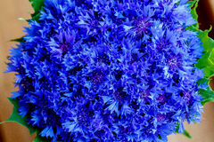 De mooie lente bloeit Blauwe Centaurea-cyanus op achtergrond Bl Stock Afbeeldingen