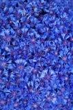 De mooie lente bloeit blauwe korenbloem Stock Afbeeldingen