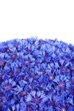 De mooie lente bloeit blauwe korenbloem Royalty-vrije Stock Fotografie