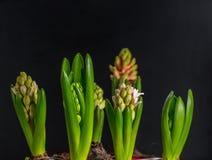 De mooie lente bloeit hyacint Stock Afbeelding